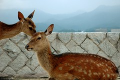 """You know what ..."" (... Arjun) Tags: 15fav get animal japan 1025fav 510fav island see nikon asia you tell know secret makeout d70s 2006 deer miyajima 1870mmf3545g 2550fav 500v50f experience 50100fav what identify recognize appreciate familiar realize pardon imsorry grasp understand discern knowledgeable distinguish comprehend comeagain mireasrealm bluelist gothrough livethrough whatdidyousay ibegyourpardon aquainted beawareof couldyourepeatthat heisnotgoodforyou"
