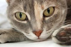My best friend Audacia (Johanna Mifsud photography) Tags: cat d50 interestingness paw feline greycat audacia robin2711 kissablekat bestofcats johannamifsudphotographyandtravelwriting johannamifsudmalta johannamifsud
