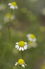 chamomile (kaycatt*) Tags: flowers bokeh herb tamron90 bokehsonicejuly top20bokehhof bokehsonicejuly29 top20bokehhofaugust