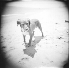 Sam on the beach for the first time (Andrea [bah! la realt!]) Tags: bw dog france film beach animal animals mediumformat holga sam toycamera squareformat serignan interestingness122 i500 scoreme30 film:iso=400 film:format=120 camera:model=holga120gfn film:type=negative film:name=ilfordhp5