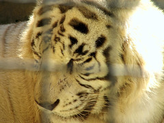White Tiger (Daniel Pascoal) Tags: parque white sc public animal cat zoo tiger gato tigre whitetiger parquedediverses penha betocarrero betocarreroworld danielpg viagemaosul