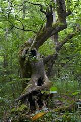 rbol torturado por el tiempo (briveira) Tags: wood parque tree madera natural twist torture rbol fraga pontedeume tortura eume retorcido briveiracom