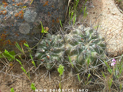 E-heinrichiana04.jpg (Spiniflores) Tags: heinrichiana setosiflora eriosyceheinrichiana ja128