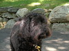 Beckett (noahg.) Tags: dog brown black puppy beck fluffy beckett schnoodle sanyoc6 noahbulgaria