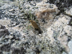 IMG_0288 (menthos) Tags: summer stone insect 2006 sten insekt sommar kullaberg