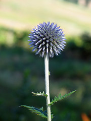 Purple thing (imagemkr) Tags: flower weed purple michigan globethistle asteraceae coloma echinopsritro bokehsoniceaugust bokehsoniceaugust11