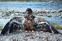 Back Off! (Clyde Barrett) Tags: canada newfoundland eagle baldeagle nl haliaeetusleucocephalus nfld featheryfriday specanimal animalkingdomelite clydebarrett