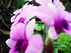 ดอกกล้วยไม้หวายดอกเล็กสีม่วงสวย ของขวัญจากเพื่อนบ้านหลังบ้าน