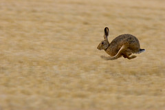 Hare Today (vlad259) Tags: nature bravo hare wildlife ears running run cal hertfordshire hares brownhare utatafeature specanimal animalkingdomelite hertfordshirehares
