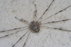 """Harvestman • <a style=""""font-size:0.8em;"""" href=""""http://www.flickr.com/photos/57024565@N00/218612961/"""" target=""""_blank"""">View on Flickr</a>"""