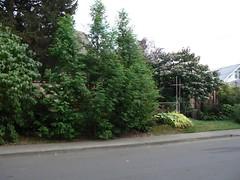 dawn redwood (skomra) Tags: portland emerson dawnredwood northeastportland p1040400