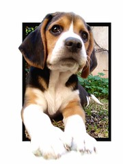 Look what I've got (radioher) Tags: dog pet baby beagle beautiful grass animals puppy puppies friend teo perro devil mateo claws beagles pokeout secomelosmueblesloszapatosyanosotros