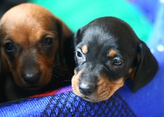 2 Puppies Are Better Than 1 (Neville_S) Tags: blue dog brown black cute green love beautiful puppy puppies dof bokeh small dachshund canon350d sausagedog nevillesukhiaphotography