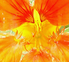 magic orange (laura's worlds) Tags: orange flower garden tropaeolum majus