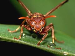 [フリー画像] [節足動物] [昆虫] [蜂/ハチ] [スズメバチ]       [フリー素材]