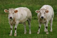 Watcha Lookin At? (julsatmidnight) Tags: white nature countryside cow europe european cattle cows belgium belgique belgie farm wildlife country pasture le belgian agriculture calf bovine farmanimals juls roeulx leroeulx