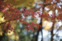 Last autumn leaves (andotime) Tags:  yellow lenses takumar  2016 chibapref a7  85mm greenflame japan sunnyday     fall green tokyo  andotime sony aasia chiba  sun red maple sunlight forest momiji color takumarlenses maples wind  m42 autumn light park