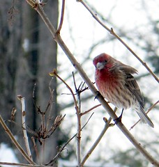 House Finch (blmiers2) Tags: newyork bird nature beautiful birds geotagged wildlife finch views housefinch avian fringillidae passeriformes backyardbirds birdphoto ttcu housefinchphoto housefinchphotos blm18 blmiers2