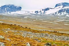 Wild reindeer, Jotunheimen, Norway (Carl Erik´s photos) Tags: reindeer jotunheimen reinsdyristeindalenvedoppstigningtilglitterting