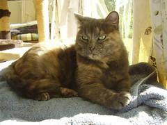 Matilda (Matilda&Charlie&Josie ~ MCJ) Tags: matilda 9yo greybluecreamtortoiseshell