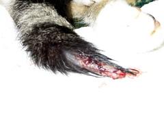 Bad Tail Injury (genesee_metcalfs) Tags: pets cat tail injury