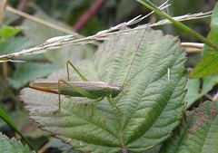 Long-winged conehead (f) (rockwolf) Tags: insect shropshire cricket orthoptera rockwolf longwingedconehead conocephalusdiscolor crudgington
