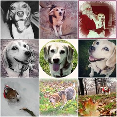 in memory of my sweet Daisy (lucymagoo_images) Tags: rescue beagle collage square daisy stray lucymagoo lucymagooimages