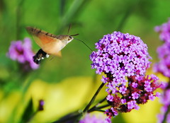 Refuelling (petrk747) Tags: park flowers autumn insect flora outdoor moth fueling refuelling fuelling fuellingstation natureselegantshots saariysqualitypictures czphoto photothebestofmimamorsgroups autumnofnature