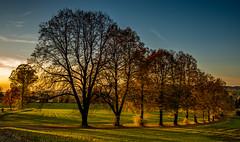 Baumreihe in Oppach (matthias_oberlausitz) Tags: abend licht sonnenuntergang herbst bume saat stimmung weizen oberlausitz oppach waldstrase