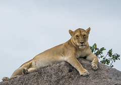 Tanzania, Mara, Serengeti National Park, african lioness (panthera leo) resting on a kopje (Eric Lafforgue) Tags: africa tourism nature animal rock horizontal tanzania mammal outdoors photography nationalpark rocks day wildlife lion nobody nopeople unescoworldheritagesite bigcat naturereserve mara copyspace serengeti relaxation sideview vertebrate zoology lyingdown rockformation riftvalley eastafrica kopje animalsinthewild carnivora colorimage serengetinationalpark lookingatcamera fulllenght catfamily thenaturalworld nonurbanscene nationalreserve animalthemes safarianimals colourimage undomesticatedcat colourpicture simiyu tz12653