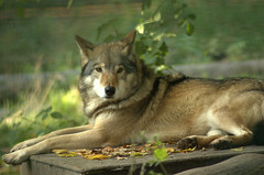 Timber wolf (gernot.glaeser) Tags: nature animals deu wolves