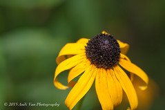 Yellow Flower (AndiVanPhotog) Tags: nature floral yellow garden photography nikon bright yellowflower buds summerflower browneyedsusan d300s