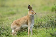 Irish Hare (Wanderer105 (Christine Cassidy )) Tags: nature nikon wildlife bbc mammals biodiversity rspb springwatch autumwatch