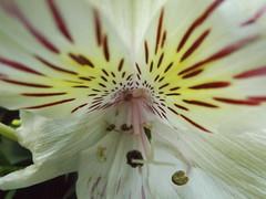 DSCF9641 (Roberto Peña A.) Tags: macro luz fuji flor blanca bonita cerca regalo ternura pintas astromelia