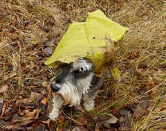 Keeping the Rain Off (Pep's Hiking Team) Tags: autumn dog nature leaf nikon schnauzer 2015 minischnauzer traildog d3200 wildernessdogs adventuresniffer
