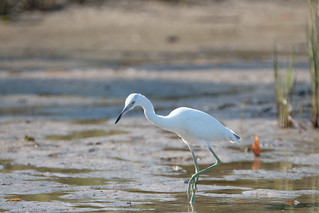 Little Blue Heron ( immature )