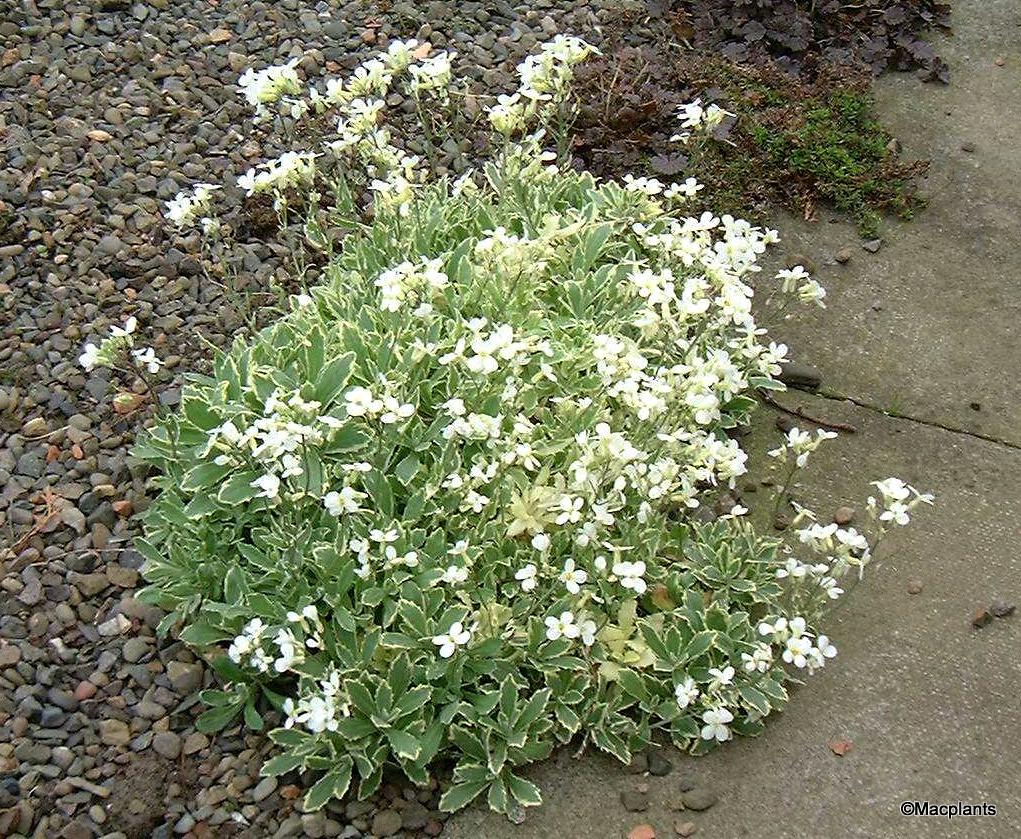 Arabis alpina ssp. caucasica 'Variegata'