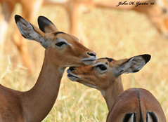 JHG_6227-b Motherly Love ! Impalas. Tsavo West, Kenya. (GavinKenya) Tags: africa wild nature animal june john mammal photography gavin photographer kenya african wildlife july grand safari dk naturephotography kenyasafari africansafari 2015 safaris africanwildlife africasafari johngavin wildlifephotography kenyaafrica kenyawildlife dkgrandsafaris africa2015 safari2015 johnhgavin