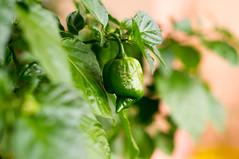 NJ-3 (stankar) Tags: chili grow scorpion taylor trinidad flowering chilli jalapeno butch