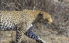 Leopard (Fil.ippo) Tags: animal southafrica leopardo wildlife safari leopard savannah filippo krugernationalpark sudafrica sigma70300 d7000 filippobianchi