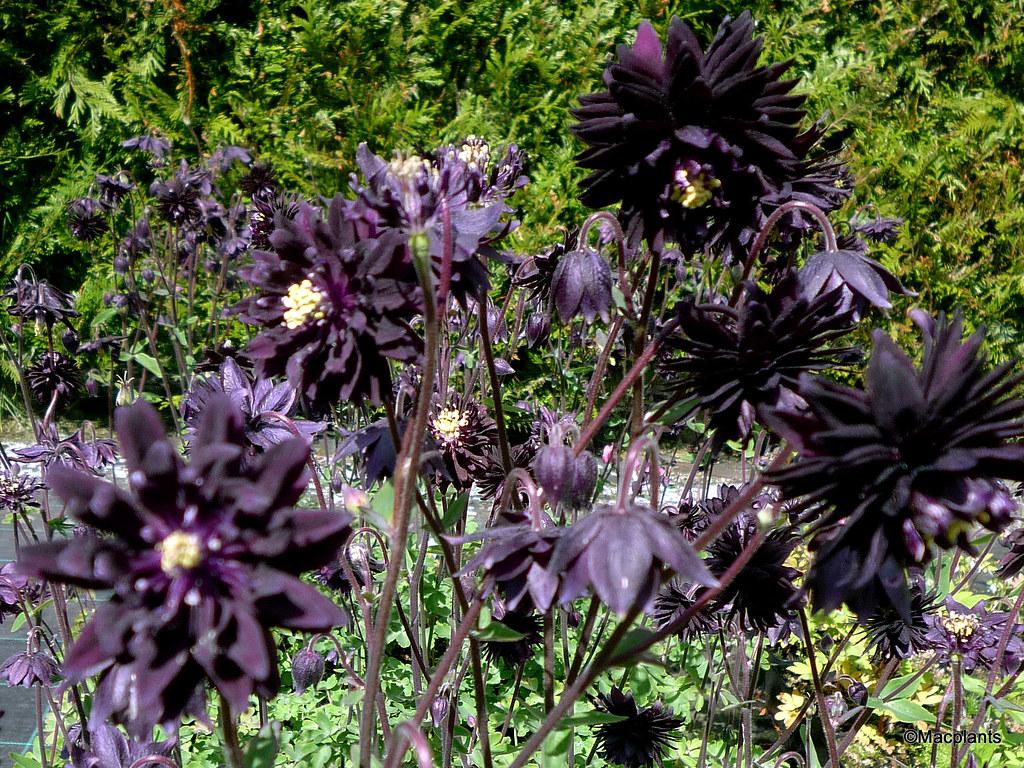 Macplants aquilegia vulgaris var stellata black barlow izmirmasajfo