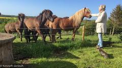 (Kenneth Gerlach) Tags: summer animals denmark outdoor sommer dk hest dyr gravhund islandskhest trs northdenmarkregion