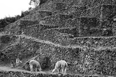 Alpaca Grazing at the Foot of the Terraced Cliffs BW - Machu Picchu Peru (Don Thoreby) Tags: mist mountains alpaca peru machu picchu inca ancient ruins citadel terraces foggy trails sacred mountaineering andes mystical remote 1910 spirituality peaks machupicchu spiritual viewpoint discovery grazing 1911 alpacas apus huayna incan terraced bingham mysticism capac