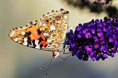 Schmetterling - Distelfalter (Guenter Beyer) Tags: macro butterfly garden lumix makro garten schmetterling 4k flieder distelfalter ilac panasonik fz1000