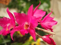 Laelia gouldiana (tgrauros) Tags: laeliagouldiana orquídies orchidaceae orquídea acao associaciócatalanadamicsdelesorquídies orchids exposicions