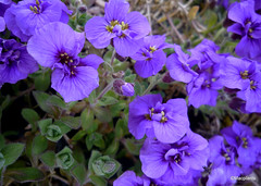 Aubrieta 'Blue Beauty'