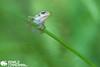 Juvenile European Tree Frog (Hyla arborea) from the Netherlands. (Ronald Zimmerman - Wildlife Photographer) Tags: 2016 awd nederland netherlands amfibie amfibieen amfibieën amphibian amphibians amsterdamse amsterdamsewaterleidingduinen animal animals arborea boomkikker boomkikkers dieren europeantreefrog frog frogs hyla hylaarborea juveniel juvenile kikker kikkers nature naturephotography natuur natuurfotografie photography professional professioneel ronaldzimmerman tree treefrog wildlife wildlifephotography zimmerman