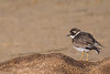 Grand gravelot - Charadrius hiaticula - Common ringed plover (patricia.hoedts) Tags: france aquitaine landes hossegor grandgravelot charadriushiaticula commonringedplover bird canon canon6d sigma sigma150600contemporary