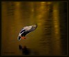 Golden light (Sakerfalke) Tags: sakerfalkefotografie ente erpel birds vogel outdoor flight januar 2017 nikond3