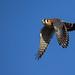 Kestrel Fly-by